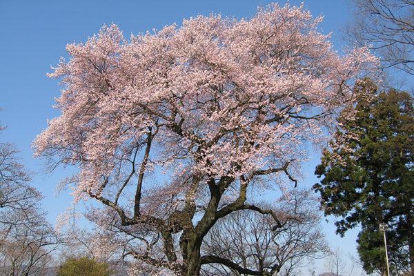 沼田市の桜スポット 御殿桜