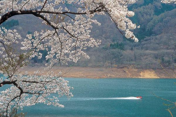 沼田市の桜スポット 薗原湖