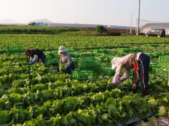 歩LOOKING レタスの収穫