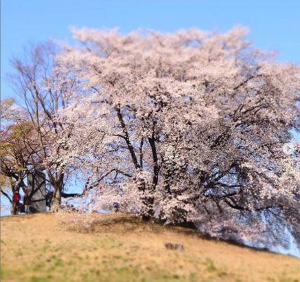 白石稲荷山古墳 桜
