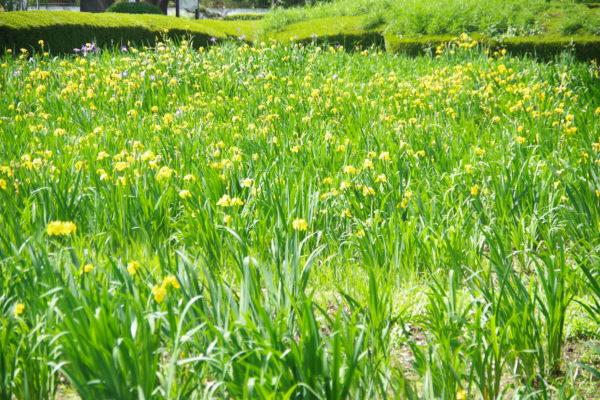 あずま水生植物公園 花