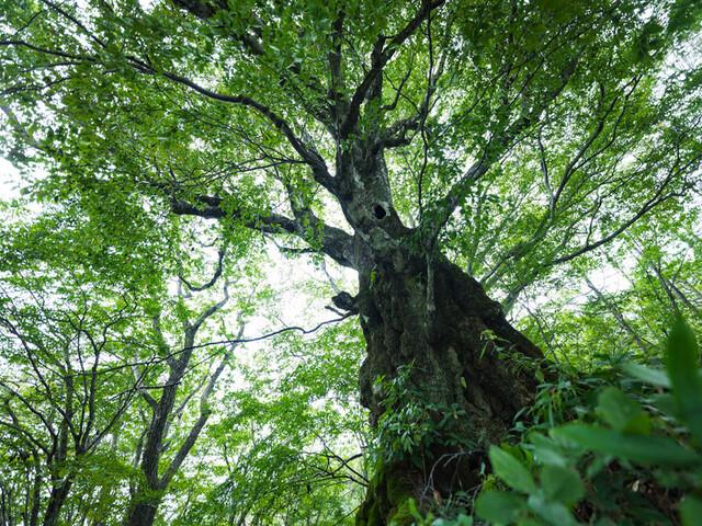 前橋市天然記念物 木