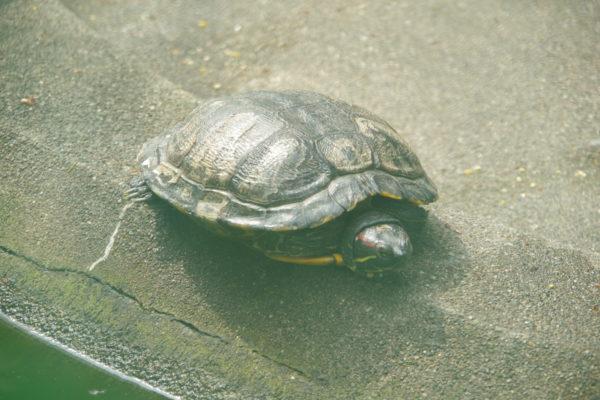 高崎公園 亀