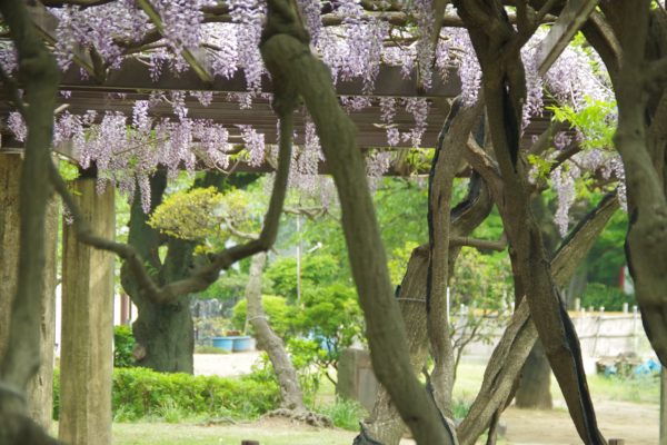高崎公園 藤の花