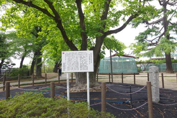 高崎公園 ハクモクレン