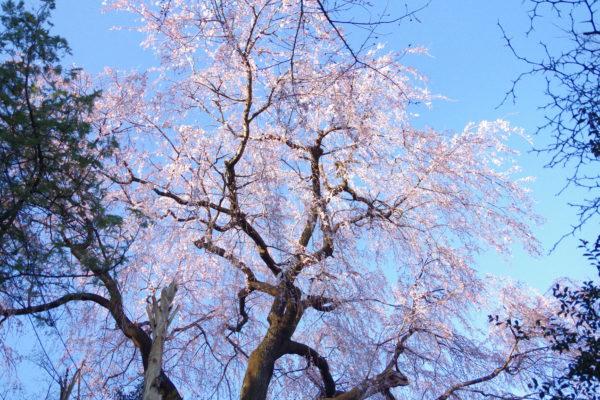 長純寺 桜