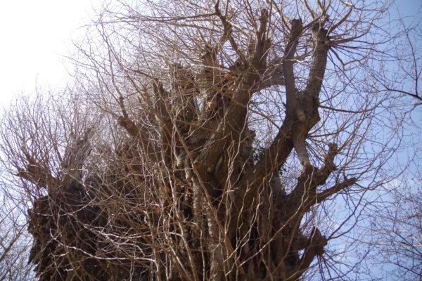 前橋八幡宮 保存樹木