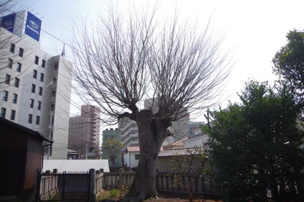 前橋八幡宮 木