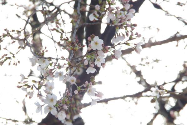 前橋八幡宮 桜