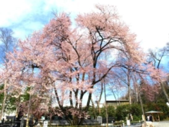 仁叟寺 五輪桜