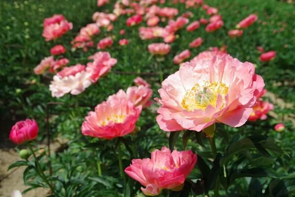 富岡市 富岡しゃくやく園 開花状況